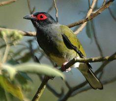Australasian Figbird | Sphecotheres vieilloti
