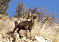 Bighorn Sheep : Discovery Channel