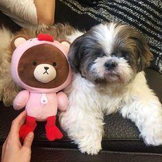 其實真的有像熊大 😄😆 #shihtzu#shihtzulovers#loveshihtzu#adopt#dog#boy#family#mybaby#cute#ilovemydog#doglife#instagood#puppy#instadog#igdogs#gooddog#kaka #毛孩子 #西施 #卡卡 #愛犬 #❤️