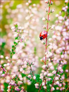 A beautiful Lil Ladybug is on a beautiful flowery frond. Lady Bug, Parcs, Love Bugs, Beautiful Creatures, Mother Nature, Lady In Red, Beautiful Pictures, Beautiful Gorgeous, Art Photography