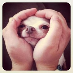 Love that little face! Is there anything more precious? #dogs #doglovers #puppies #love #adorable #cute #chihuahua