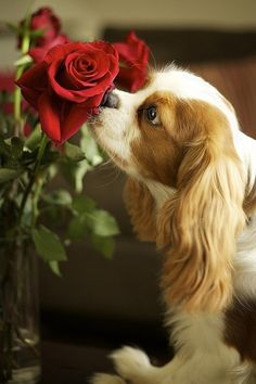 Take time to smell the rose's-King Charles Spaniel