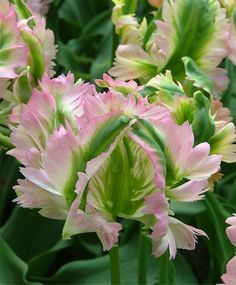 TULIP GREEN WAVE A terrific cut flower, this sport of Greenland is pastel mauve-pink with green flames and an exterior white base. ...