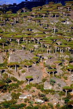 Dragon's Blood Forest | Socotra, Yemen...  One third of the plant life on Socotra Island is found nowhere else on planet Earth. One of the most bizarre forms of life is the dragon blood tree, which resembles an umbrella.