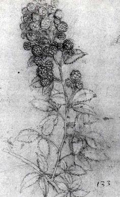 Rubus fruticosus, blackberry, by Leonardo da Vinci Picturing Plants and Flowers: August 2011 Michelangelo, Botanical Illustration, Botanical Prints, Tattoo Drawings, Art Drawings, High Renaissance, Drawing Studies, Plant Drawing, Land Art