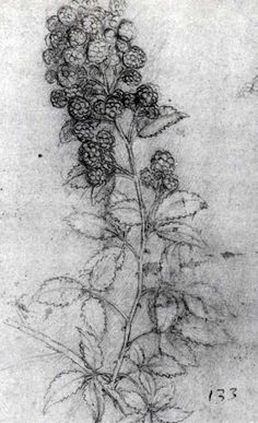 Rubus fruticosus, blackberry, by Leonardo da Vinci Picturing Plants and Flowers: August 2011