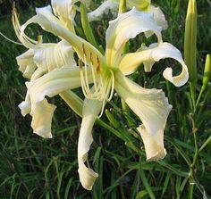 Photo of Daylily (Hemerocallis 'August Snow') uploaded by vic