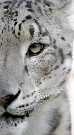 A beautiful close-up of a Snow Leopard!