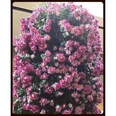 """""""#flowers #pink #red #magneta #rouge #punch #color #basket #hanging #window #mothernature #design #landscape #garden #botanic #plant #porch #deck #sunroom #balcony #Chicago #suburbs #high #ceiling"""" Photo taken by @akaaki157 on Instagram, pinned via the InstaPin iOS App! http://www.instapinapp.com (11/13/2015)"""