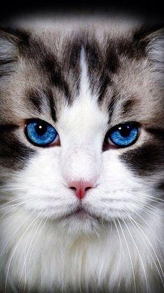 Blue eyes, long hair, whiskers, and a purr. What could be better than this kitty?