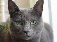 Russian blue cats - Bing Images