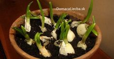 Here's How To Grow An Endless Supply Of Garlic Indoors. Along with green onions, garlic is one of the best health-friendly plants you can grow at home. It is super-easy and super-cheap. You may not like its taste and odor, but eating a whole garlic bulb Growing Veggies, Growing Plants, Garlic Growing Indoors, Growing Garlic From Cloves, Easy Plants To Grow, Multiplication Végétative, Planter Ail, Organic Gardening, Gardening Tips
