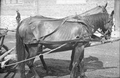 Származási helye » Helység: Gyergyóalfalu (Joseni) » Megye: Hargita (Harghita)  Készítés ideje: 1960 Készítette: Vámszer Géza Lelőhely: Kriza János Néprajzi Társaság fotóarchívuma Horses, Animals, Animales, Animaux, Animal, Animais, Horse
