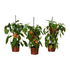 IKEA - CAPSICUM ANNUUM, Potteplante, Frisk opp hjemme med planter kombinert med blomsterpotter som passer stilen din.