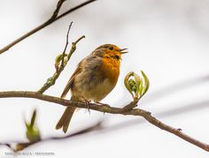 My first 'Erithacus rubecula' by Maurizio Di Renzo on Best Settings, Robin, Birds, Animals, Collection, Animales, Animaux, Bird, Animal