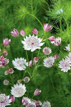 Astrantia major Seeds or perennial plant, they are hardy and good for bees and other pollinators