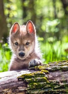 """Who you lookin at?"" Says this tiny wolf cub"