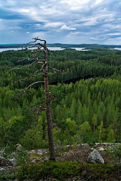Finnish pine forest and lake view by Mikko Palosaari