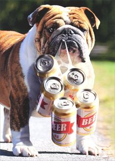 Dog Carries Six Pack - Avanti Bulldog Father's Day Card A...