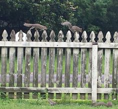Amazing how fast they run along this fence. Wonder if I could do that ?