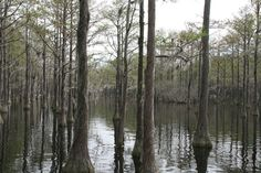 The Okeefenokee Swamp...