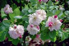 Celsiana, Rosa damascena-hybrid
