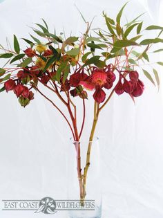 EUCALYPTUS KINGSMILLII - aka Kingsmill mallee. Gorgeous flowering Australian native gum. Big red and coral pink tassel blossoms on long stems, lovely wedding bouquet and boutonniere flower.