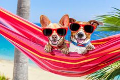 40575305-paar-von-zwei-hunden-entspannt-auf-einem-schicken-roten-h-ngematte-mit-sonnenbrille-im-sommer-urlaub.jpg (350×233)