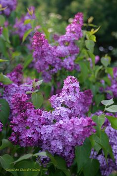 French Lilac, Conrad Art Glass and Gardens Different Flowers, Types Of Flowers, All Flowers, Spring Flowers, Beautiful Gardens, Beautiful Flowers, French Lilac, Lilac Tree, Prayer Garden