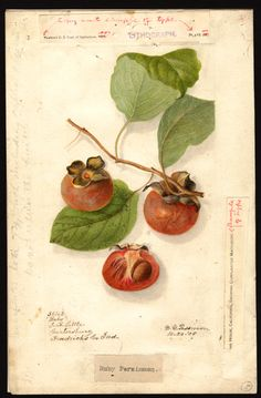 """Diospyros (persimmons - Ruby). Watercolour (1905) by Deborah Griscom Passmore (1840-1911).   """"U.S. Department of Agriculture Pomological Wat..."""