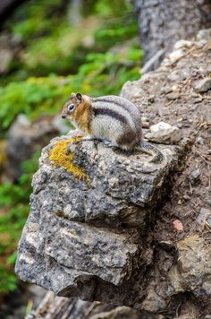 Chipmunk - Sulpher Mountain, Banff, CA National Geographic Photos, Your Shot, Banff, Amazing Photography, Mountain, Canada, Mountaineering