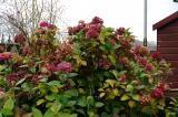 Hydrangea in back garden