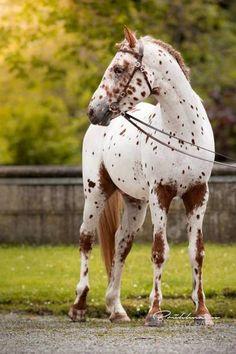 For The Love Of Horses Knabstrupper stallion Maximus. For The Love Of Horses Funny Horses, Cute Horses, Pretty Horses, Horse Love, Beautiful Horse Pictures, Most Beautiful Horses, Animals Beautiful, Cute Animals, Cheval Pie