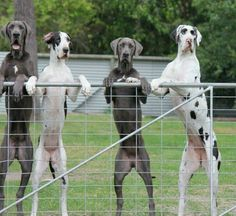 How would you like to be greeted by these Great Danes?