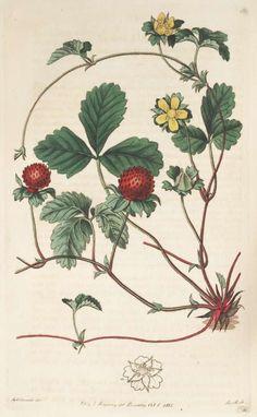 Schijnaardbei - Potentilla indica