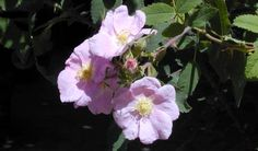 Rosa californica flower