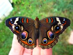 gorgeous!!! a buckeye butterfly on the hand!!!