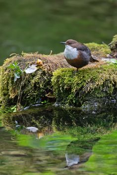 The White Throated Dipper (Cinclus cinclus), also known as the European Dipper or just Dipper, is an aquatic passerine bird found in Europe, Middle East, Central Asia and the Indian Subcontinent.