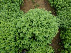 Καλλιέργεια ρίγανης Herbs, Flowers, Plants, Gardening, Lawn And Garden, Herb, Plant, Royal Icing Flowers, Flower