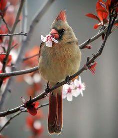 A female cardinal pulling off blossoms on a purple plum tree. Most Beautiful Birds, Beautiful Horses, Little Birds, Love Birds, Nature Animals, Animals And Pets, Bird Quotes, State Birds, Cardinal Birds