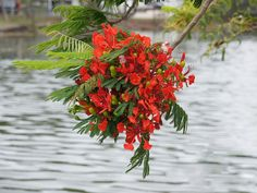 Flowering Poinciana branch over the water | … | Flickr - Photo Sharing!
