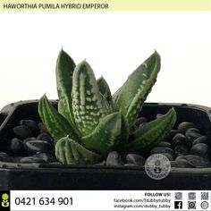 Quality succulents, cacti and houseplants for sale - Adelaide, SA, Australia Succulents For Sale, Emperor, Houseplants, Cactus Plants, Indoor House Plants, Cacti, Cactus, House Plants, Interior Plants