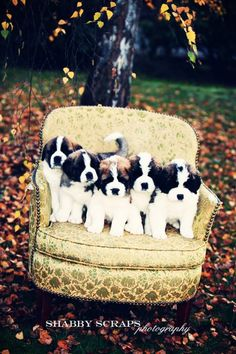 Cute Saint Bernard pups... P.s. I. Want. Them. All.