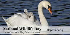 National Wildlife Day is an opportunity to learn more about endangered species, preservation and conservation efforts around the world. National Days In September, Wacky Holidays, Wildlife Day, National Day Calendar, What Day Is It, National Holidays, Endangered Species, Conservation, Opportunity