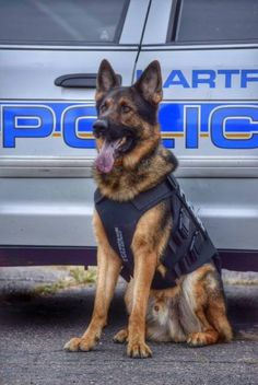 HARTFORD, CT- K9 Hondo is a three year old German Shepherd and is currently assigned to the Hartford Police Department's K-9 Unit. Hondo is handled by Officer Joseph Walsh who is a nine year member of the Hartford Police Department, CT. K9 Hondo is currently certified as a patrol dog and as a firearms and explosive detection K9. K9 Hondo likes to play fetch, playing with his Kong, and loves to go swimming. He dislikes the rain and is not a fan of the vacuum cleaner. (Photo by Officer Joe…