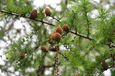 Tamarack Pine Tree