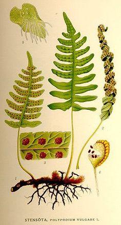 Polypodium vulgare-NF.jpg