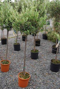Olivier entretien taille et maladies des oliviers jardin pinterest - Jardin taille olivier ...