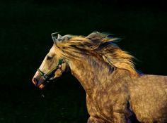 El Zahir - Stallion Directory - Barb