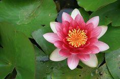 pond lily passion | by Karol Franks